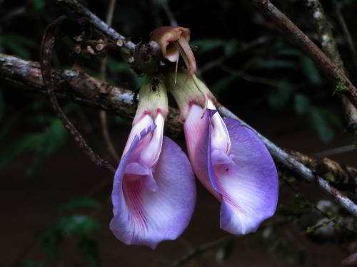 Upper Amazon rainforest plant: Butterfly Pea