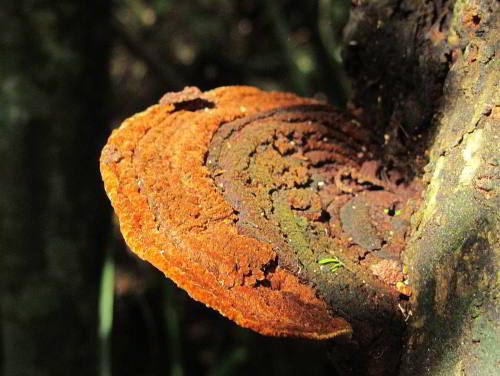 Amazon Rainforest mushroom