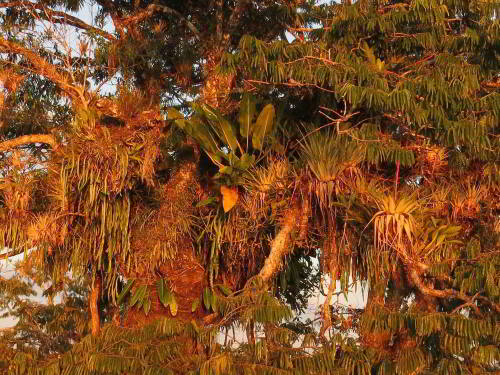Epiphytes on Macrolobia, at Cuyabeno Lake, Ecuador