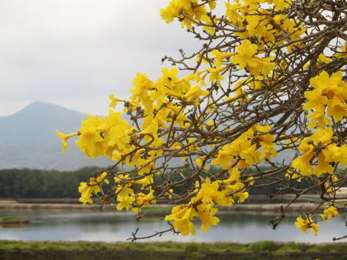 CHURUTE MANGROVES ECOLOGICAL RESERVE, GUAYAQUIL: The Golden Trumpet tree, Tabebuia Chrysanta, covers the lowland hills in a golden robe.