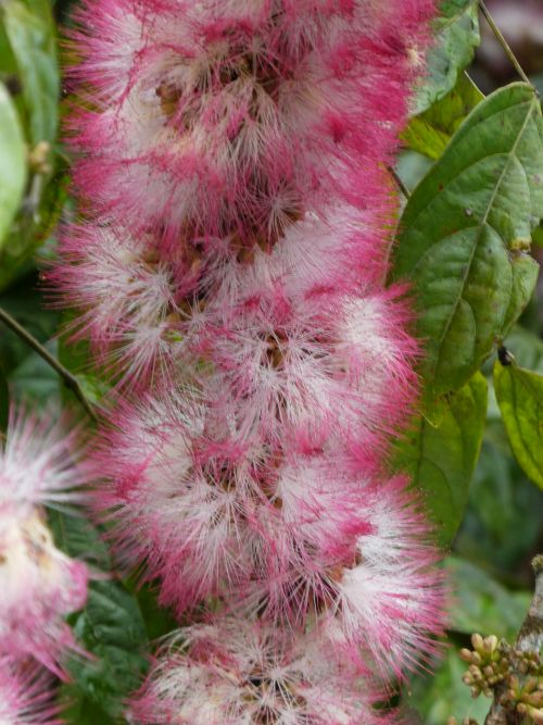 Purple riverine shrub flower