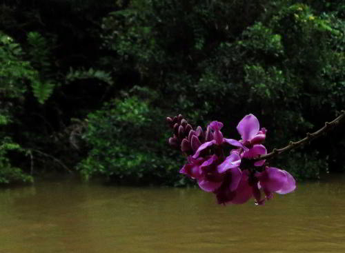 Amazon tributary marsh flower