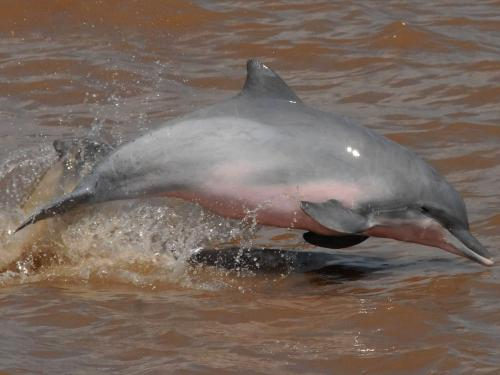 CUYABENO NATIONAL RESERVE [ECUADOR's AMAZON]: Grey Amazon Dolfins are recognized by their shark-shaped dorsal fin.