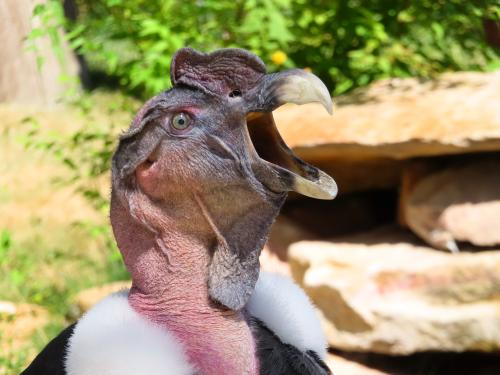 The Andean Condor is the largest bird of South America.
