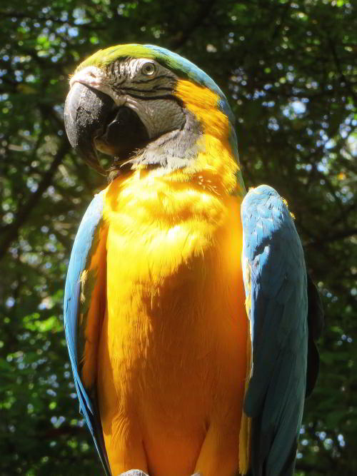 AMAZONEWOUD, ECUADOR: Blue and Yellow macaws can be frequently seen when visiting the Amazon in Ecuador.