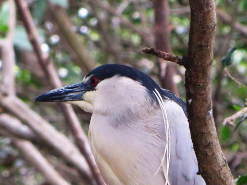 CHURUTE MANGROVES ECOLOGICAL RESERVE: La martinete común (Nycticorax nycticorax)​
