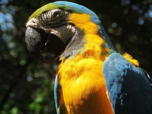 CUYABENO NATIONAL RESERVE [ECUADOR's AMAZON]: Blue and Yellow Macaws frequent the Cuyabeno Lake.