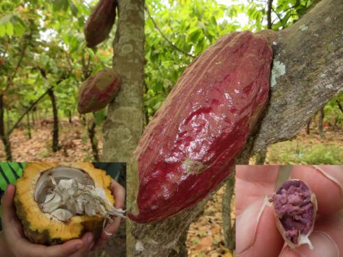 AMAZONEGEBIED BRAZILIË: cacao boon in groentetuin Siona Indianen.