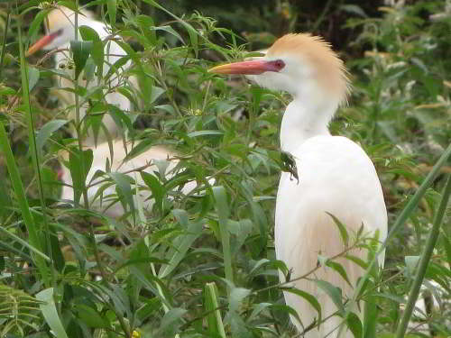 CHURUTE MANGROVES ECOLOGICAL RESERVE, GUAYAQUIL: The Cattle Egret, Bubulcus ibis, is common along the Ecuadorian coastal region.