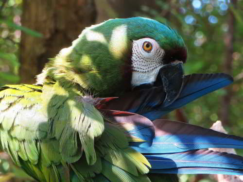 MACHALILLA NATIONAL PARK TOURS: Chestnutp-fronted Macaw.