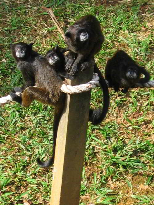 AMAZONEWOUD, ECUADOR: Black Mantled Tamarins at Cuyabeno Lodge, your comfortable hotel when visiting the Amazon in Ecuador.