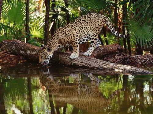 CUYABENO NATIONAL RESERVE [ECUADOR's AMAZON]: jaguars are rarely seen but omnipresent.
