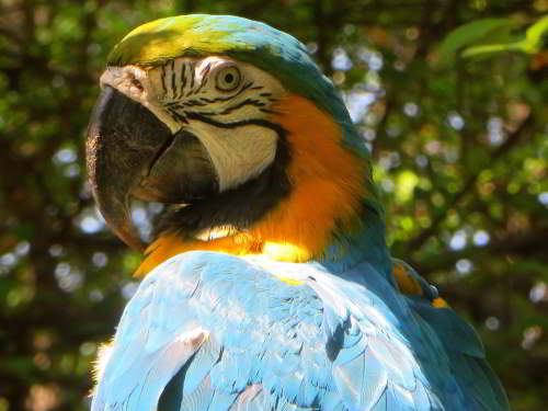 Cuyabeno Faunistic Reserve: Blue and Yellow Macaw.