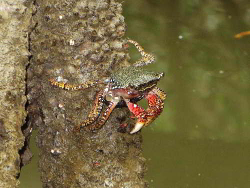CHURUTE MANGROVES ECOLOGICAL RESERVE, GUAYAQUIL: Mangrove Tree Crab, Aratus pisonii.