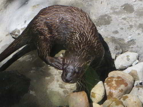 CUYABENO NATIONAL RESERVE [ECUADOR's AMAZON]: Neotropic otters frequent the waters of the Amazon.