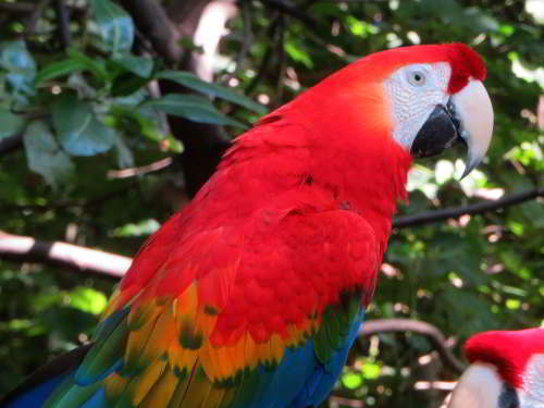 CUYABENO NATIONAL RESERVE [ECUADOR's AMAZON]: Scarlet Macaws are more common along the Zabalo River.
