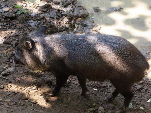 MACHALILLA NATIONAL PARK TOURS: White Colared Peccaris in the Amazon Jungle
