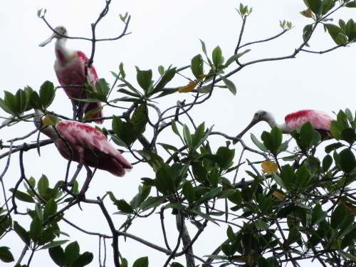 CHURUTE MANGROVES ECOLOGICAL RESERVE, GUAYAQUIL: Roseate spoonbills, Platalea ajaja, are common in the mangroves.