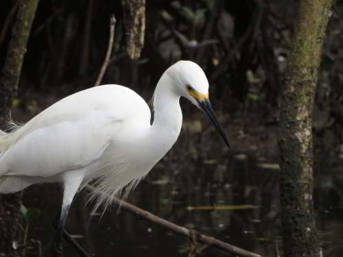 CUYABENO NATIONAL RESERVE [ECUADOR's AMAZON]: Silver egrets are widespread but less common.