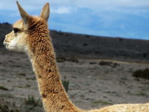 51 BEST NATIONAL PARKS OF ECUADOR [AND NATURE RESERVES]:  THINGS TO DO IN ECUADOR: Vicuna at the Chimborazo Game Reserve.