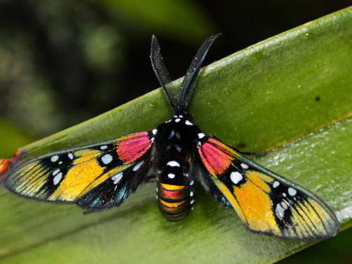 DIEREN VAN JUNGLE IN ZUID AMERIKA: Moth with tranparent wings in the Jungle