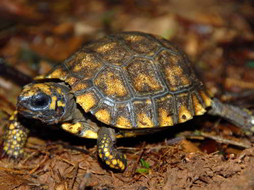 DIEREN VAN JUNGLE IN ZUID AMERIKA: Yellow-footed Tortoises are the only land tortoise of Ecuador's Amazon region.