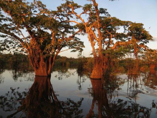 CUYABENO NATIONAL RESERVE [ECUADOR's AMAZON]: Macrolobium trees in the swamps of Lake Cuyabeno overgrown with epiphytes.