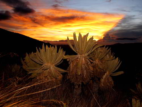 51 BEST NATIONAL PARKS OF ECUADOR [AND NATURE RESERVES]:  THINGS TO DO IN ECUADOR: Frailejones in El Angel Reserve.