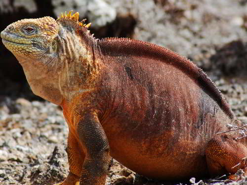 VOYAGE AUX ÎLES GALAPAGOS: COMMENT VISITER: L'iguane terrestre des Galapagos, Parc National Galapagos
