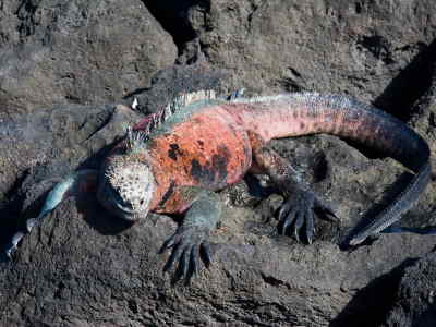 COMMENT VISITER LES ÎLES GALAPAGOS: L'iguane marine des Galapagos