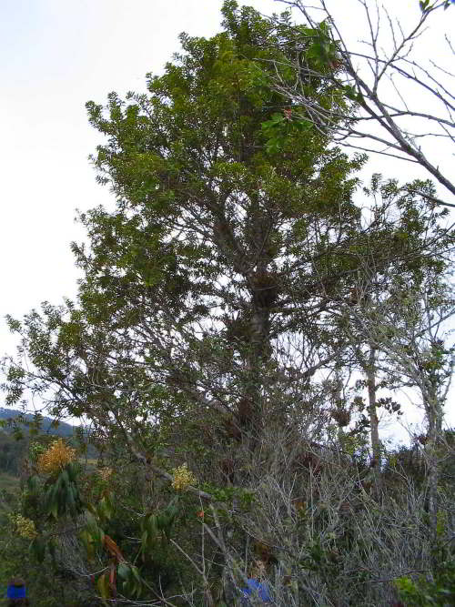 10,000 NATIVE FLOWERS OF ECUADOR [100 PICTURES]: Podocarpus Oleifolius Tree Ecuador